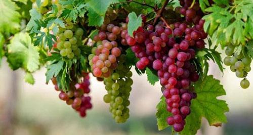cara mengurangi keringat berlebih anggur